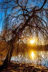Silhouette und Reflektion einer Trauerweide im Wasser bei Gegenlicht