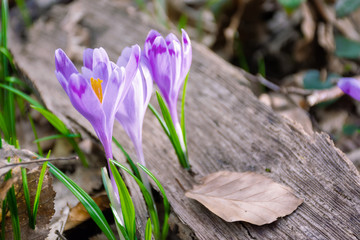 Deurstickers Krokussen crocus flower in the forest. beauty of wild purple blooming in springtime