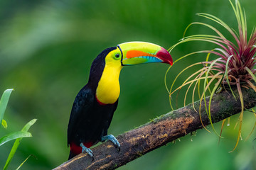 Poster Toekan Ramphastos sulfuratus, Keel-billed toucan The bird is perched on the branch in nice wildlife natural environment of Costa Rica