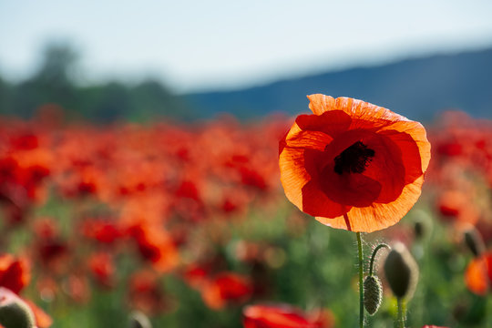 open bud of red poppy flower in the field. wonderful sunny afternoon weather of mountainous countryside. blurred background