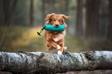 Spoed Fotobehang Hond red toller retriever dog jumping over a tree with a hunting dummy in mouth, hunting dog training