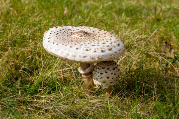 Close-up of small and big Parasol mushroom on a green meadow nearby Menzenschwand, Germany