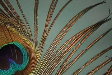 Keuken foto achterwand Pauw Dettaglio di una piuma di pavone