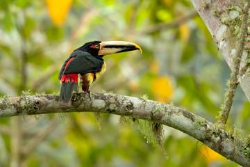 In de dag Toekan Pale-mandibled aracari, or pale-mandibled araçari (Pteroglossus erythropygius), is a species of bird in the family Ramphastidae. It is found in western Ecuador and Peru.