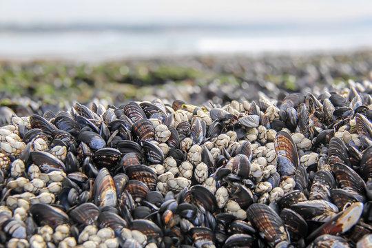 Mussels in a tide pool at low tide overlooking the ocean at Swami's Beach in Encinitas California