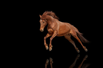 Beautiful red horse galloping in a phase jump developing mane. Thoroughbred stallion isolated on black background