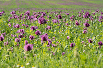 Purple poppy in the bloom on the field in the spring