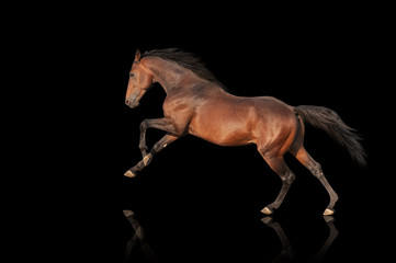 handsome brown stallion galloping, jumping. Thoroughbred horse isolated on black background