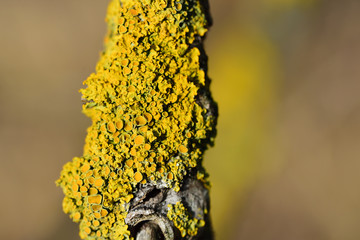 Close-up of a dry yellow lichen or moss growing on a dry, dry branch against a light background