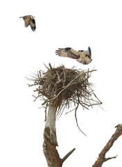 An Osprey Lands on Her Nest as Her Mate Flies By With a Fish on an Overcast Day