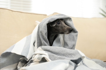 Italian Greyhound dog covered with plaid on sofa at home