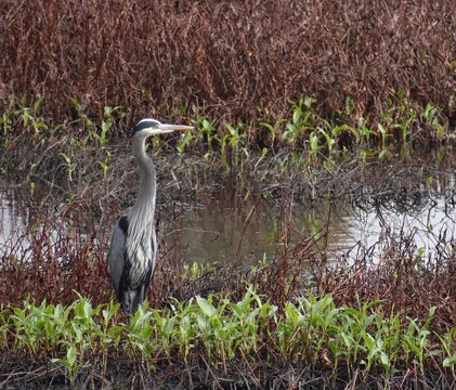 A great blue heron (Ardea herodias) with wet feathers stands among the weeds of Struve Slough in Watsonville, California.