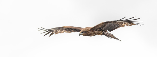 Photo sur Plexiglas Aigle Black kite flying