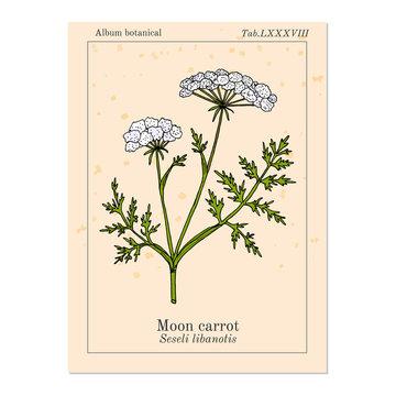 Moon carrot Seseli libanotis , or mountain stone-parsley