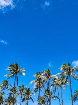 Palm Tree at Ala Moana Beach Park, Honolulu City, Oahu Island, Hawaii.