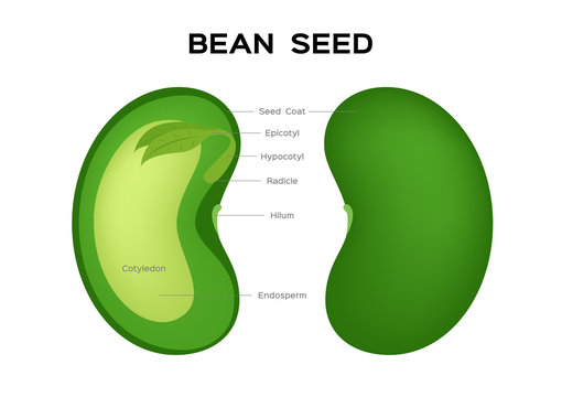 bean seed vector / embryo infographic