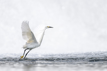 Hunting and dancing on the surface of water white egret portrait - 321785769