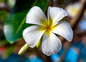 Beautiful tropical white plumeria flower (frangipani) on branch close-up. Morning dew on the petals