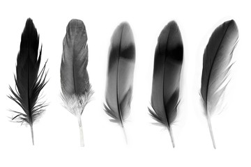 Beautiful collection black feather isolated on white background Fotomurales