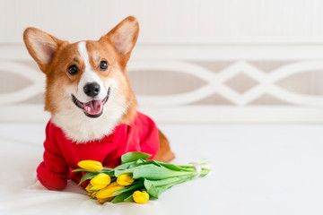 Cute corgi dog in stylish red bomber jacket sit near tulip flowers. Concept pet fashion, mothers day, valentines day, the 8th of march Wall mural