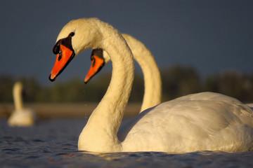 In de dag Zwaan Mute swan (Cygnus olor) eurasian species of red billed swan in waterfowl family Anatidae, Anseriformes, documentary photo of mute swan in natural habitat at Drava river shore
