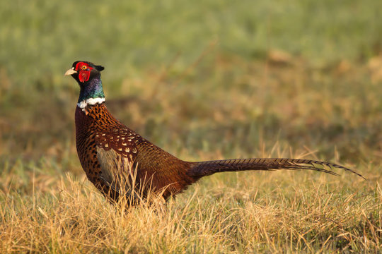Common pheasant (Phasianus colchius) Ring-necked pheasant in natural habitat, warm background, grassland