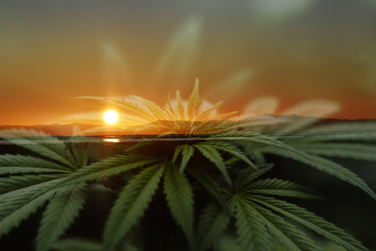 Cannabis Sativa Art With Beautiful Sunrise With Marijuana Plant Leaves