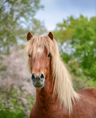 Aegidienberger a rare horse crossbreed from Germany between the Peruvian Paso and the Icelandic horse, the coat color is flaxen chestnut