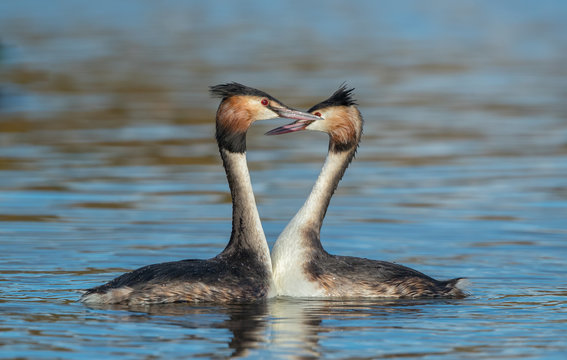 Great Crested Grebe Dancing
