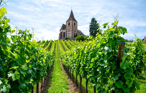 vineyard and medieval church in Alsace, France