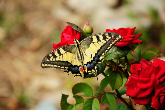 Papilio rutulus, the western tiger swallowtail on red roses