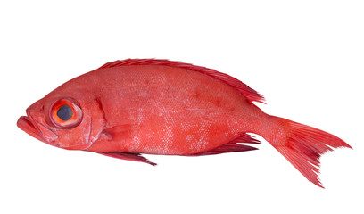 Red bigeye fish or red sea perch isolated on white, Priacanthus macracanthus
