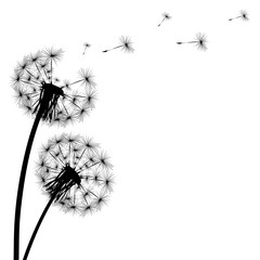 Fototapeta Black silhouette of a dandelion on a white background obraz
