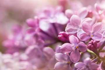 Photo sur Toile Lilac tender soft purple lilac flowers, macro shot