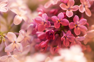 Foto auf Leinwand Flieder tender pink lilac flowers in spring, macro shot, suitable for floral background