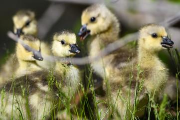 Fototapete - Newborn Goslings Exploring the Fascinating New World