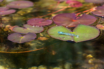 Close-up of blue-tailed damselfly sitting on water lily at natural swimming pool, sunny day