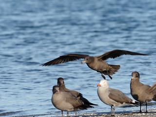 Fotoväggar - Heermann's gull, Larus heermanni