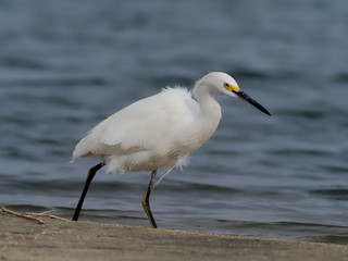 Fotoväggar - Snowy egret, Egretta thula