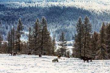 Horses graze in the winter taiga. Altai Republic, Russia