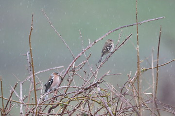 Larrabetzu, Bizkaia/Spain; Feb. 09, 2020. Rainny day in the field. Common chaffinch (Fringilla coelebs) in dry brambles after winter.
