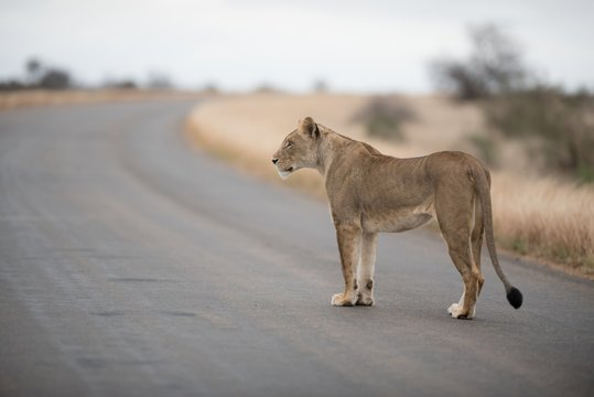 Female lion walking on the road with a blurred background