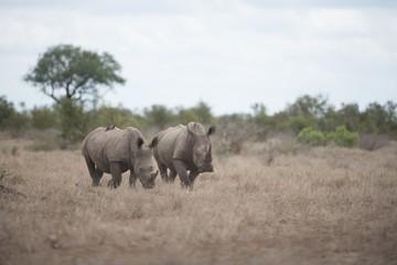 Foto op Canvas Neushoorn Beautiful rhinoceros walking on the bush field