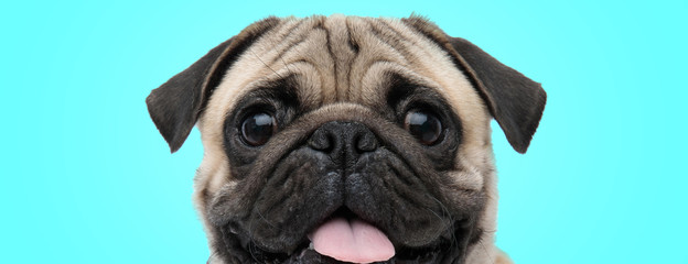 excited little panting pug with mouth open and tongue exposed looking amazed