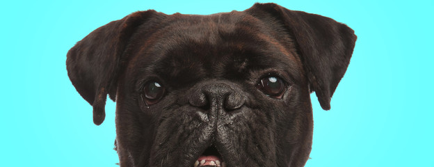 closeup picture of a confused boxer dog on blue background