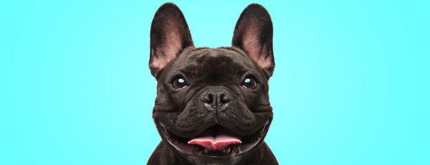 Zelfklevend Fotobehang Hond closeup of an adorable french bulldog puppy dog looking very happy and eager