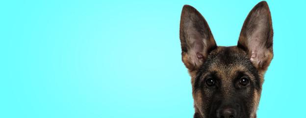cute german shepherd puppy dog with big ear in an alert closeup pose