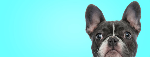 closeup picture of a surprised french bulldog puppy