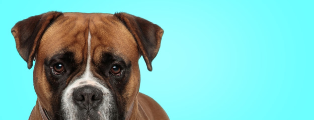 adorable boxer dog with curious look on its face