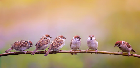 Printed roller blinds Bird photo with a flock of funny birds and Chicks sparrows sit on a branch in a Sunny summer garden and chirp merrily